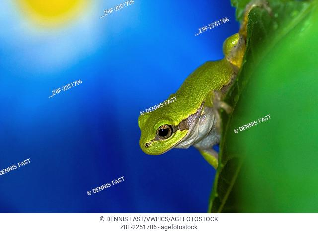 Gray Tree Frog (Rainette Versicolore)