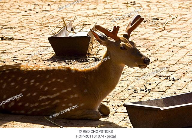 Close-up of a deer sitting near a trough, HohHot, Inner Mongolia, China