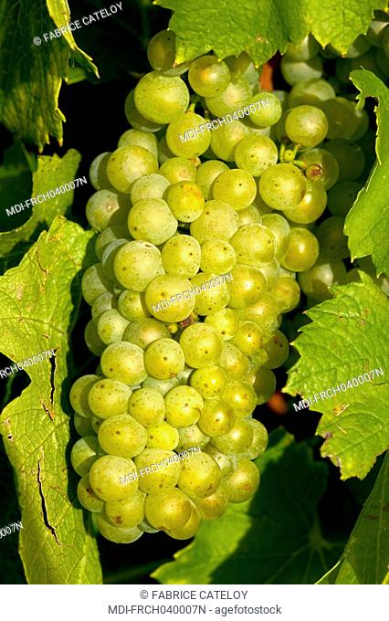 Close shot on a bunch of Chardonnay grapes