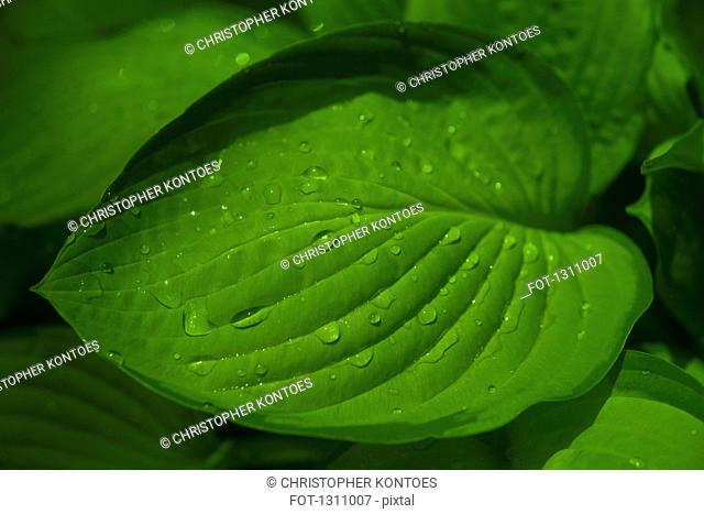 Raindrops on green leaves, close-up