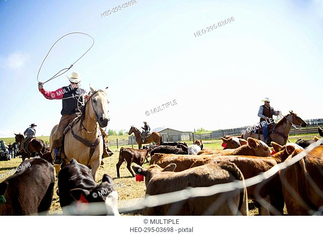 Cattle rancher on horseback lassoing cow on sunny ranch