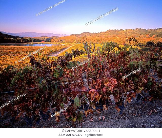 Autumn Cabernet Franc Vines with Grapes at sunrise at the Halter Ranch in the Paso Robles region; San Luis Obispo County of the Central Coast AVA of California