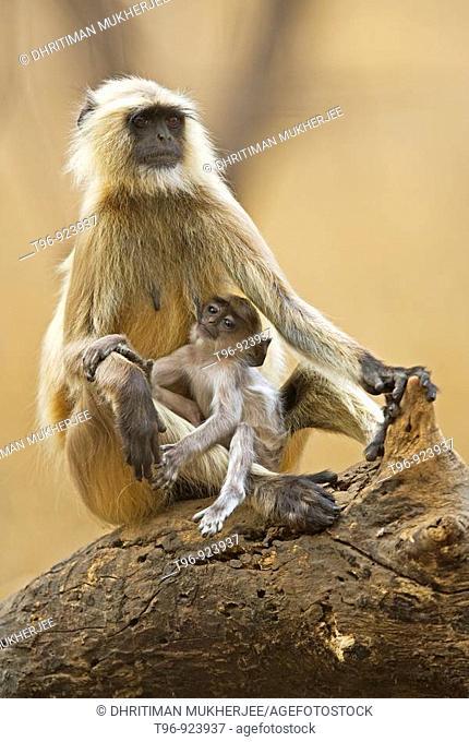 Mother feeding infant langur