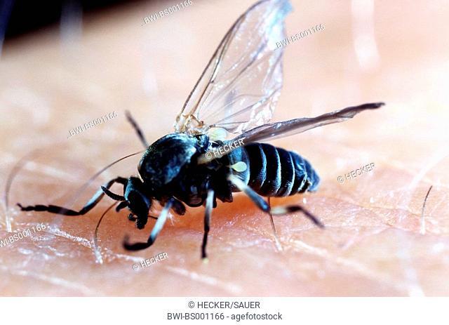 black fly, blackfly (Simulium spec), imago, sucking