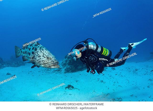 Scuba Diver and Potato Cod, Epinephelus tukula, Cod Hole, Great Barrier Reef, Australia