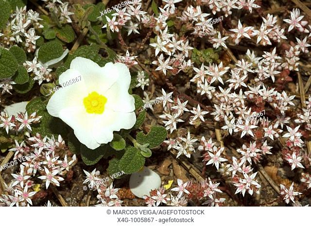 Flor de jara negra o morisca, Sageleaf rockrose flower, Cistus salvifolius  Pontevedra, España