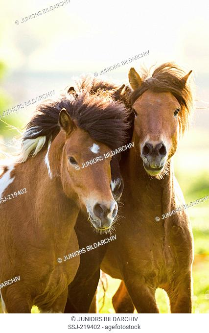 Islandic Horse. Skewbald and chestnut adult playing on a pasture. Austria. Austria