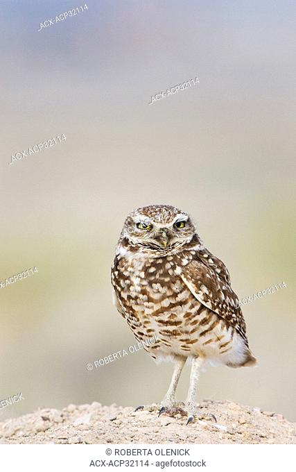 Burrowing owl Athene cunicularia, male at burrow, Pueblo West, Colorado