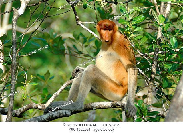 Proboscis Monkey Sitting in Tree Bako National Park Sarawak Borneo Malaysia
