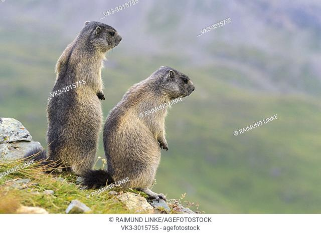 Alpine Marmot, Marmota marmota, two youngs standing, Hohe Tauern National park, Austria
