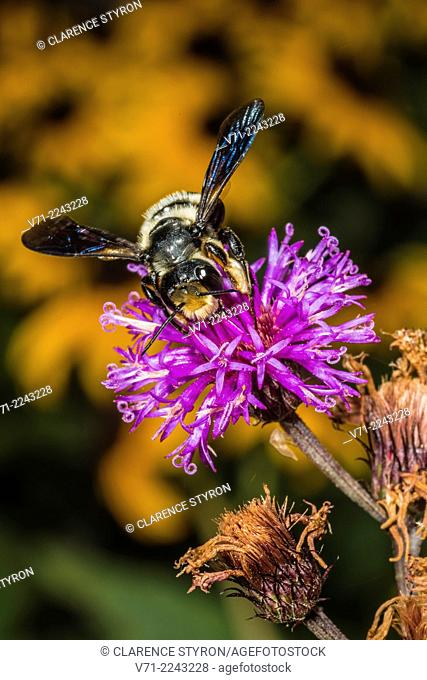 Mason Bee (Osmia sp.) Feeding on Ironweed (Vernonia noveboracensis) Flowe