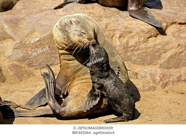 Brown Fur Seal, Cape Fur Seal or South African Fur Seal (Arctocephalus pusillus) adult cow recognising her pup through the sense of smell, Cape Cross, Namibia