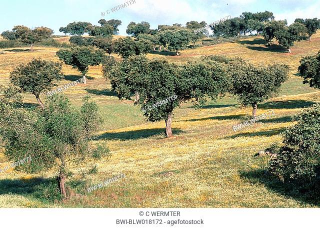 holm oak, evergreen oak Quercus ilex, bloomimg, Mai 99