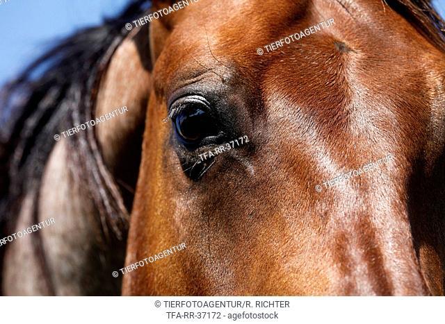 Quarter Horse eye