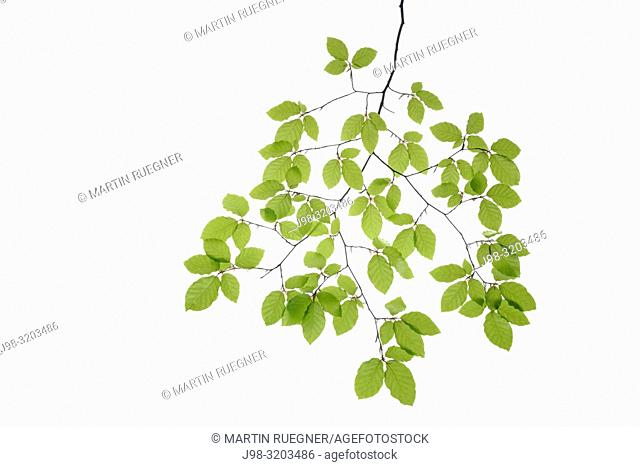 Branch of Beech tree (European Beech / Fagus sylvatica) with fresh foliage in spring, white background. Bavaria, Germany, Studio Shot