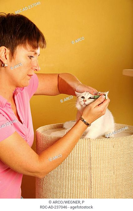 Woman and British Shorthair Cat, silver-shaded / giving ophthalmic ointment