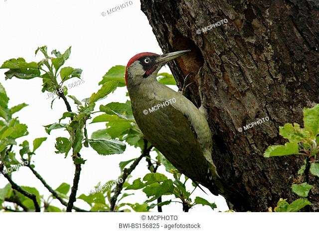 green woodpecker (Picus viridis), at its tree hole, Germany, Baden-Wuerttemberg