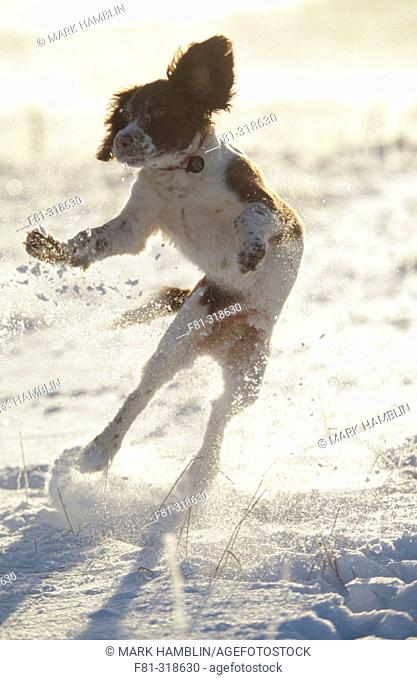 Springer Spaniel puppy (4 months old) playing in snow. Scotland
