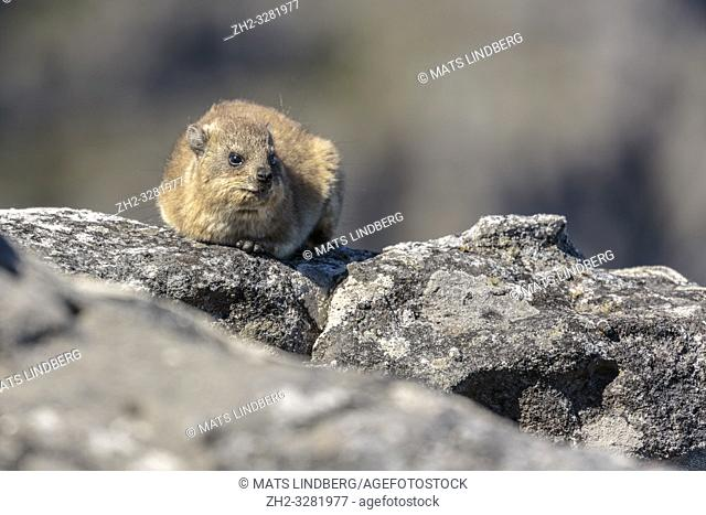 Rock badger, dassie, Procavia capensis, lying on a rock basking in the sun, Table mountain, Cape Town, South Africa