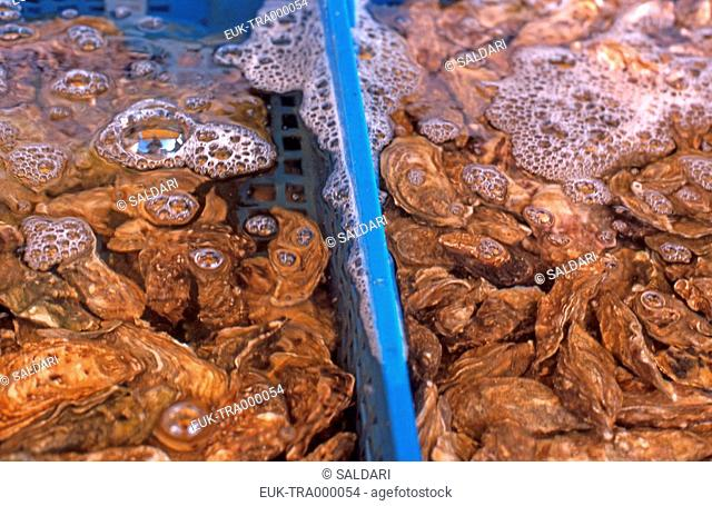 Oysters,France