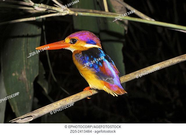 Oriental dwarf kingfisher , Ceyx erithaca , Alcedinidae, Thenmala, Kerala. India