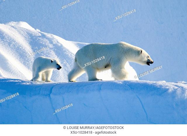 Female polar bear and five month old cub at iceberg Navy Board Lancaster Sound, Baffin Island  The animals have been listed as at risk due to Climate change