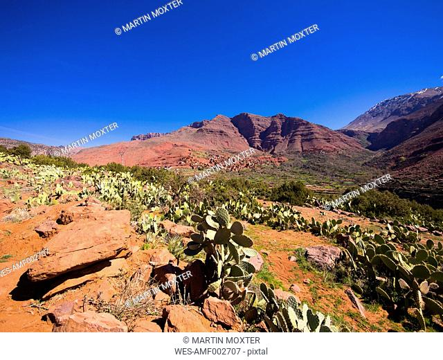 Morocco, Marrakesh-Tensift-El Haouz, Atlas Mountains, Ourika Valley, Village Anammer, Prickly Pears, Opuntia ficus-indica