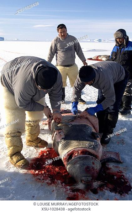 Qaanaaq, Greenland April 2006  Butchering a bearded seal