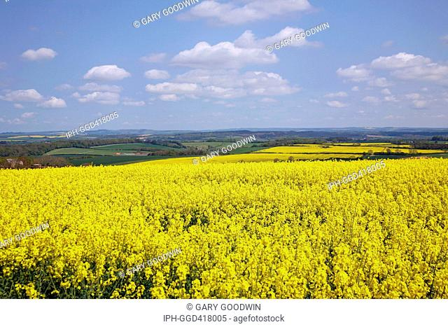 View over the Dorset countryside showing colourful rapeseed fields in flower near the village of Broadmayne