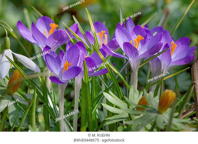 Early Crocus, Woodland crocus, Tomasini's crocus (Crocus tommasinianus), blooming in a meadow