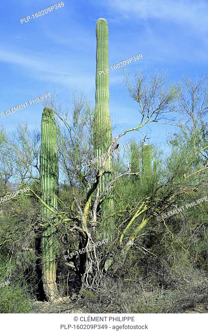 Saguaro cacti (Carnegiea gigantea) growing through branches of foothill palo verde / yellow paloverde (Parkinsonia microphylla) which act as a nurse tree by...