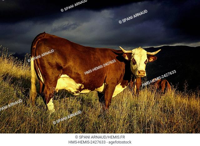 France, Savoie, Beaufortain, Hauteluce, herd of cows in a pasture alpine mountain at sunset under a stormy sky