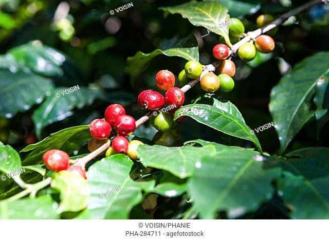 Branche of coffee tree (Coffea arabica) bearing maturing fruits (drupe)