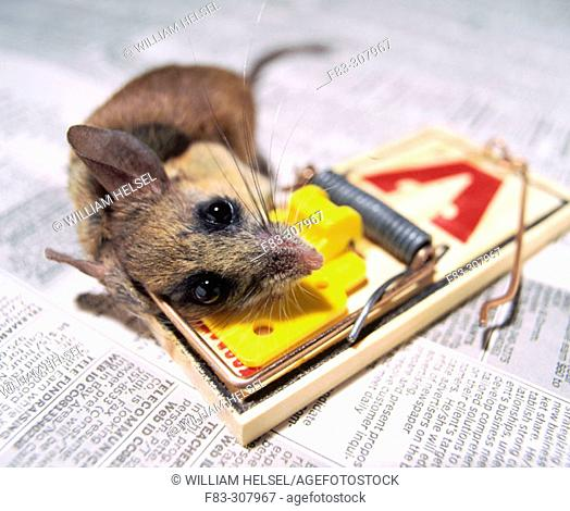 Mouse caught in a trap