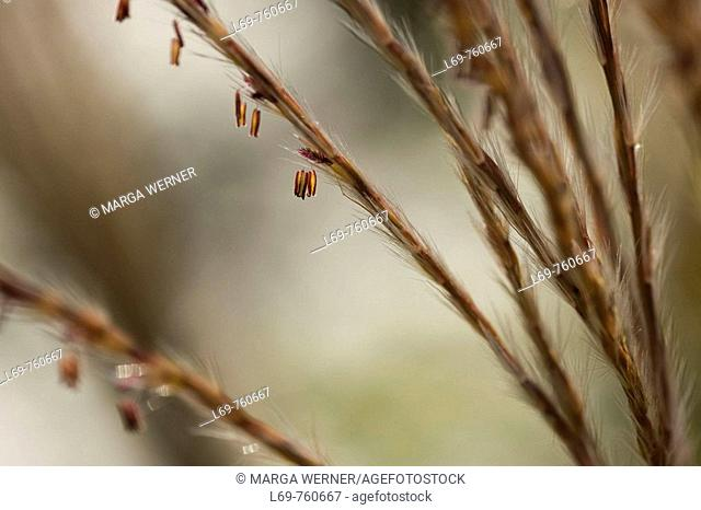 Chinese Silver grass (Miscanthus sinensis) with seeds in late summer. Garden in Schleswig-Holstein. Germany