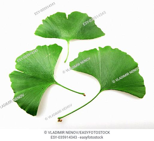 Fresh ginkgo biloba leaf on a white background