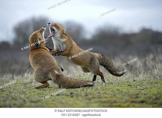 Red Foxes / Rotfuechse ( Vulpes vulpes ) in aggressive fight, fighting, biting each other, wide open jaws, attacking each other, while rut