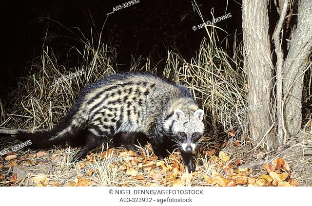African Civet (Civettictis civetta), shy and nocturnal species. Kruger National Park, South Africa