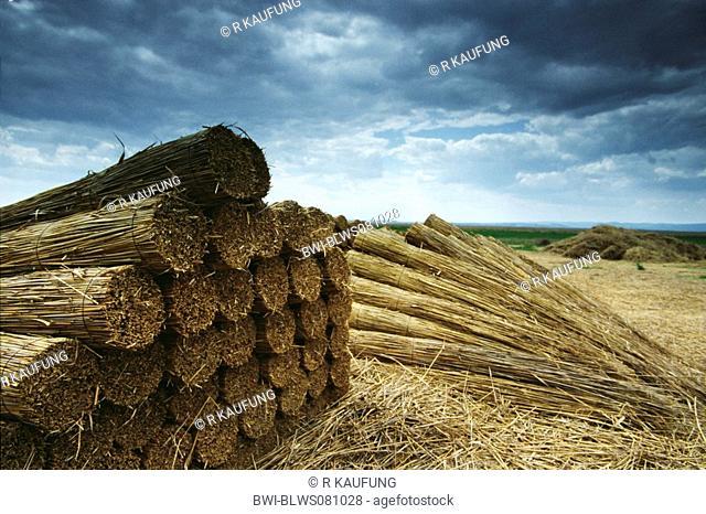 reed grass, common reed Phragmites communis, Phragmites australis, cutted stems tied up, Austria, Burgenland