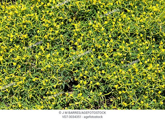 Socarrell gros (Anthyllis hystrix) is a cushion-like spiny bush endemic to Menorca Island, Balearic Islands, Spain
