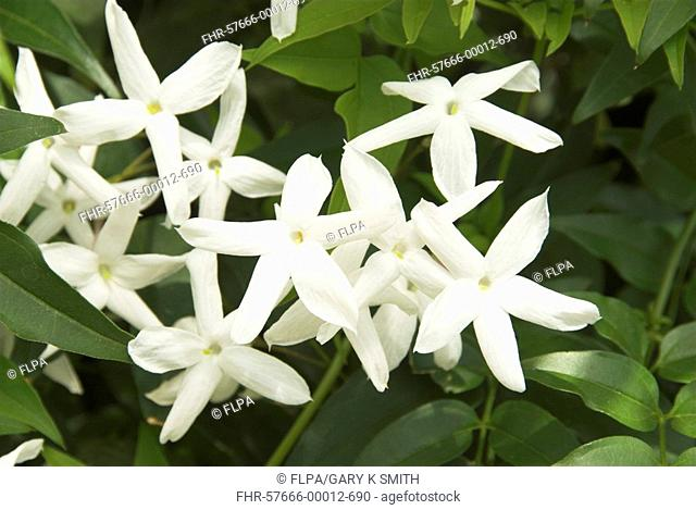 Jasmine Jasminum sp flowering, in garden, Norfolk, England, may