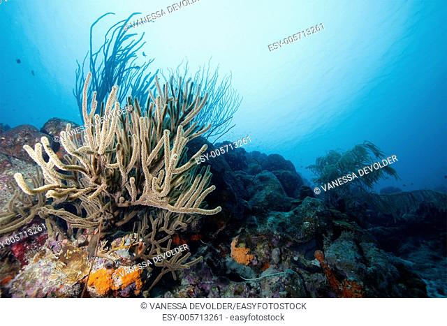 Underwater landscape at Bonaire with sea rod and corals