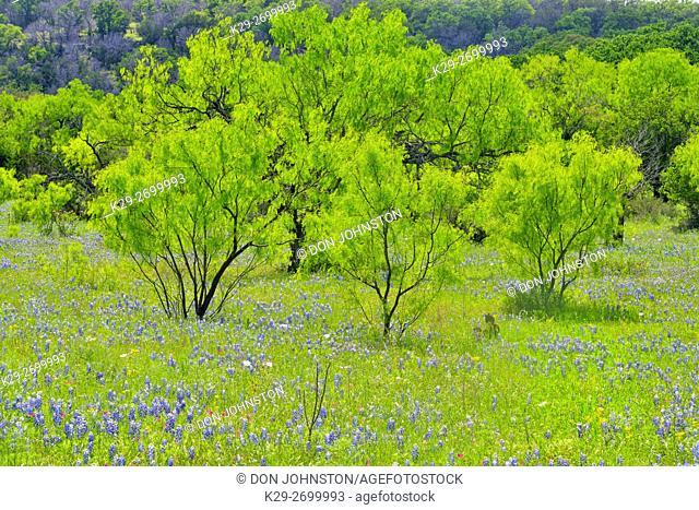 Roadside wildflowers along Threadgill Creek Road featuring Texas bluebonnets and mesquite, Mason County, Texas, USA