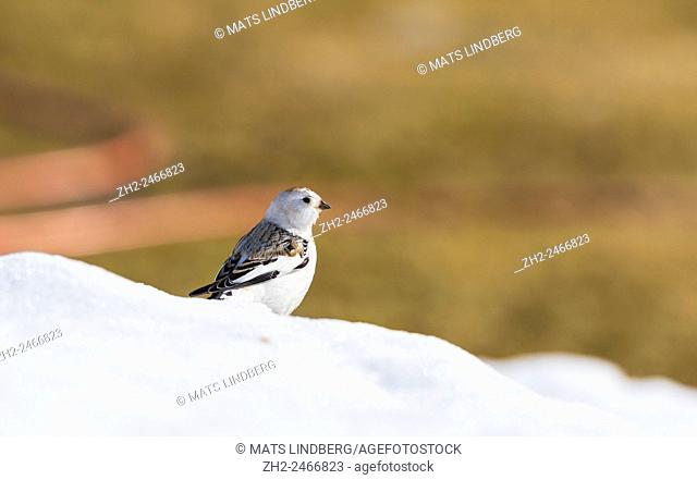 Snow bunting, Plectrophenax nivalis, sitting on snow with colorful clear background, Gällivare, Swedish Lapland, Sweden