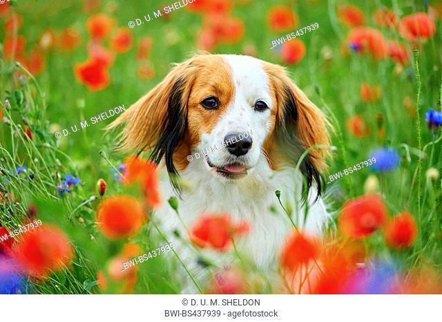 Small Dutch Waterfowl Dog, Kooiker (Canis lupus f. familiaris), in a poppy field, Germany