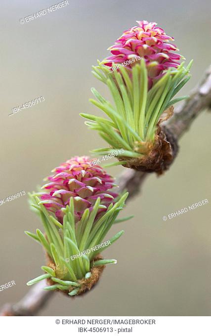 Female flowers of larch (Larix decidua), Emsland, Lower Saxony, Germany