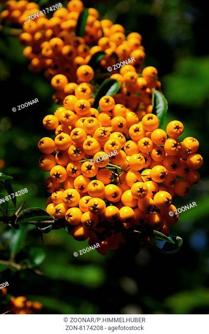 Pyracantha coccinea, Feuerdorn, Firethorn