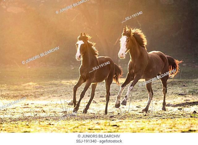 Marwari Horse. Pair of mares galloping. India