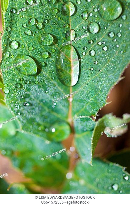 Green leaf with water droplets, Lake Alice, Wyoming, USA