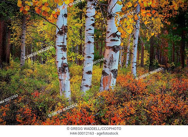 Fall aspen grove at Black Butte Ranch Cascades Mountains, Sisters Central Oregon Pacific Northwest USA